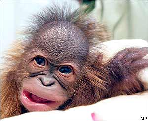 _40670162_orangutan2_ap.jpg